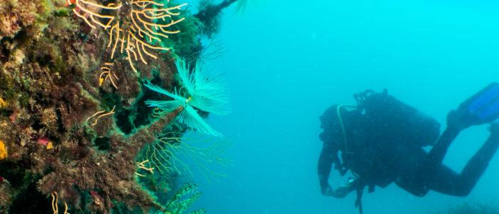 Coraux, anémones et plongeur jardins de Sausset